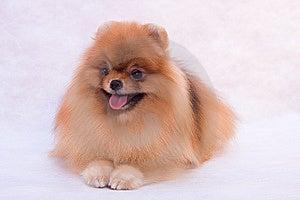 Pomeranian Spitz Stock Image - Image: 8907051