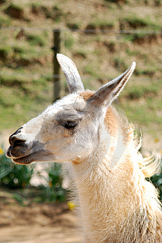Llama Royalty Free Stock Images - Image: 8909119