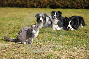 Three Dogs Gazing Into A Cat Royalty Free Stock Images - Image: 8909819
