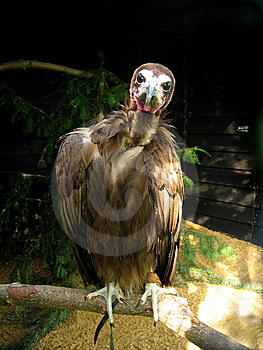Perched Vulture Royalty Free Stock Photography - Image: 8911577
