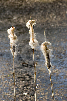 Bulrush Stock Images - Image: 8913214