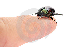 Green Beetle (Anomala Albopilosa) Royalty Free Stock Photography - Image: 8917327