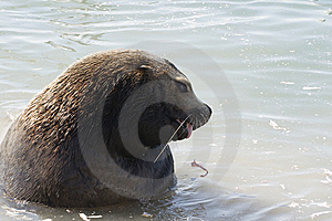 Northern Sea-lion (Eumetopias Jubatus) Royalty Free Stock Photo - Image: 8920595