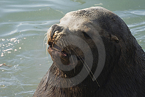 Northern Sea-lion (Eumetopias Jubatus) Royalty Free Stock Photography - Image: 8920637