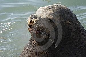 Northern Sea-lion (Eumetopias Jubatus) Royalty Free Stock Photography - Image: 8920637