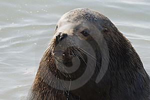 Northern Sea-lion (Eumetopias Jubatus) Stock Image - Image: 8921161