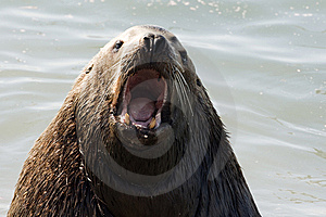 Northern Sea-lion (Eumetopias Jubatus) Stock Images - Image: 8921274