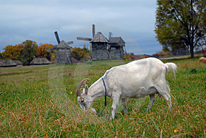 Goats Are Grazed On A Meadow Stock Photo - Image: 8921740