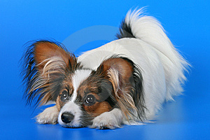 Young Papillon Stock Image - Image: 8924681