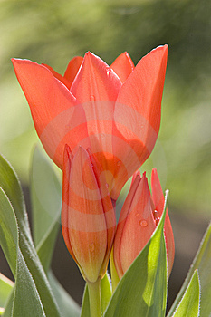 Tulip Stock Photo - Image: 8926540