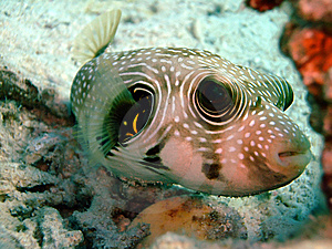 White Spotted Pufferfish Stock Image - Image: 8926801