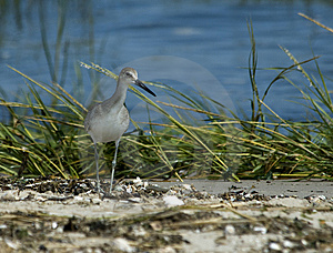 Western Willet Stock Photo - Image: 8927340