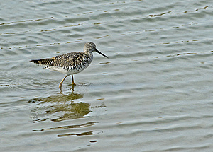 Greater Yellowlegs Royalty Free Stock Photos - Image: 8927348