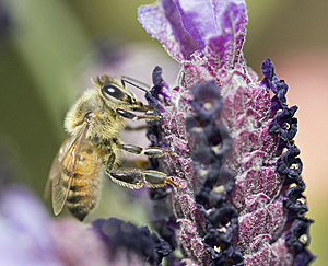 Bee On Flower Stock Images - Image: 8927964