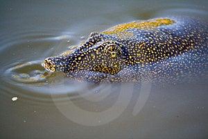 Trionyx Triunguis (tortuga De Caparazón Blando Del Nilo) Foto de archivo libre de regalías - Imagen: 8928845