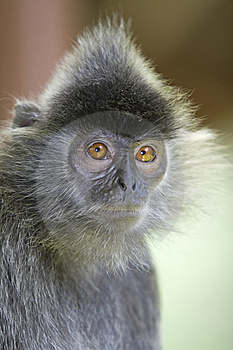 Silver Leaf Monkey Royalty Free Stock Images - Image: 8928939