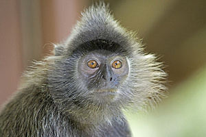 Silver Leaf Monkey Royalty Free Stock Photo - Image: 8928965