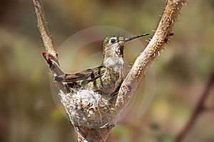 Hummingbird Stock Photos - Image: 8936473
