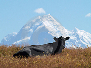 Cow With Mount Cook In The Background Stock Image - Image: 8939581