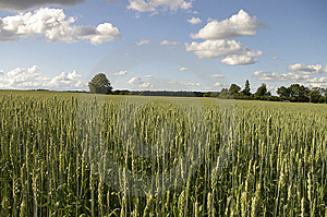 Wheat Field Royalty Free Stock Image - Image: 8942866