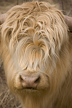 Scottish Highlander Stock Photos - Image: 8947893