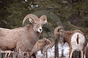 Bighorn Rams Fighting Stock Photography - Image: 8952432