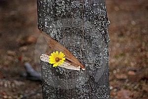 Daisy Tree Stock Image - Image: 8953871