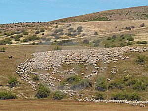 Herding Sheep Stock Photos - Image: 8954343