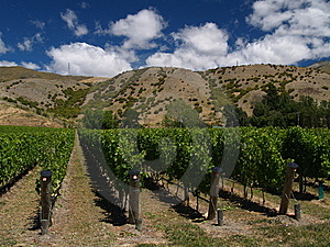 Vineyard In New Zealand Royalty Free Stock Photos - Image: 8954418