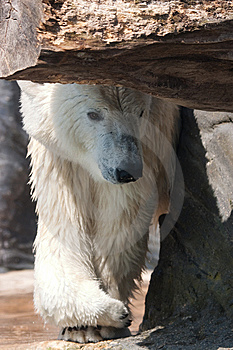 Polar Bear Stock Photography - Image: 8954872