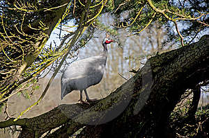 Helmeted Guineafowl (Numida Meleagris) In A Tree   Stock Image - Image: 8955861