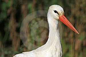 Close Portrait Of White Stork In Natural Habitat Royalty Free Stock Photography - Image: 8957597