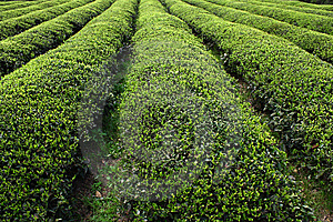 Tea Bush Royalty Free Stock Images - Image: 8959299