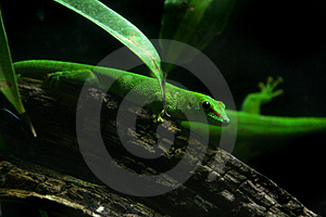 Madagascar Day Gecko Stock Photos - Image: 8960913