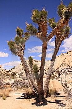 Joshua Tree Stock Photography - Image: 8961552