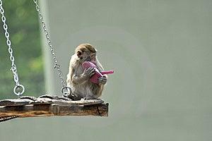 Capuchin Monkey Stock Images - Image: 8962294