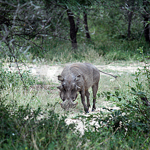 Warthog Royalty Free Stock Photos - Image: 8964738