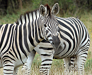 Zebras Royalty Free Stock Photography - Image: 8964807