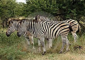 Group Of Zebras Stock Photo - Image: 8964850