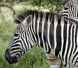 Zebra Stock Image - Image: 8964881