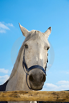 Head Of The White Horse Royalty Free Stock Images - Image: 8965109