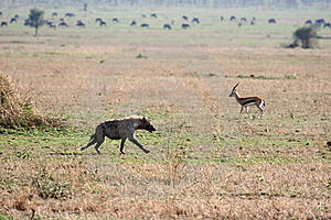 Hyaena Stock Photos - Image: 8966303