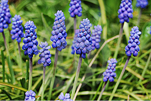 Sapphire Grape Hiacynth Flowers Royalty Free Stock Photo - Image: 8976235
