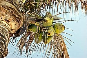 椰子 图库摄影 - 图片: 8978992