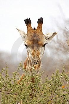 Giraffe Browsing On A Thorn Tree Royalty Free Stock Image - Image: 8980506