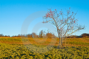 Dogrose Bush With Red Hips On Yellow Autumn Meadow Stock Image - Image: 8980721