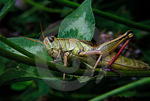 Grasshopper On Clover Stock Photo - Image: 8984660