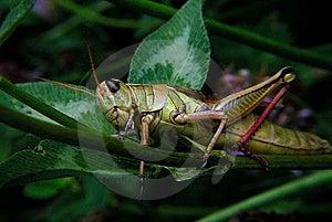 Grasshopper On Clover Stock Photo - Image: 8984660