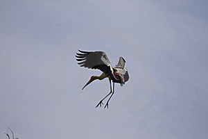 Painted Stork Royalty Free Stock Images - Image: 8985899