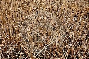 Golden Dry Grass Stock Photos - Image: 8986973